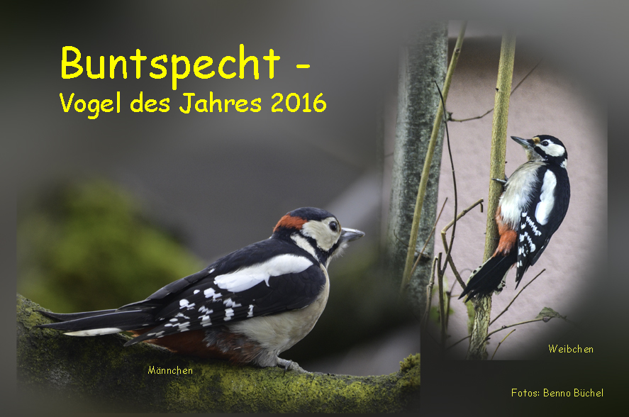 CollageBuntspecht-2016-72WEB
